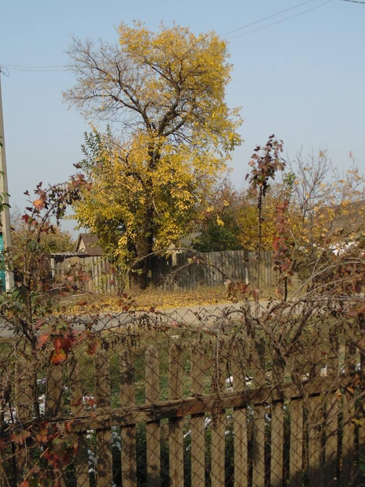 и под конец осени золотится на улице шелковица