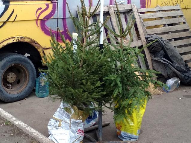 В Запорожской области уже начали продавать новогодние елки (ФОТО)