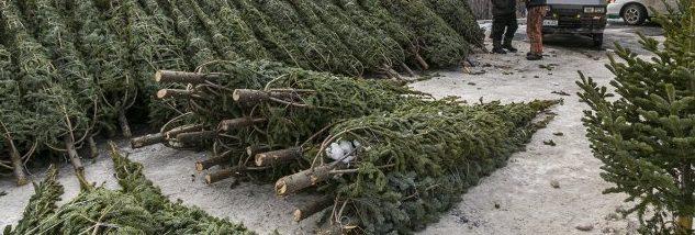 В Запорожском лесничестве установили цены на ёлки – Индустриалка