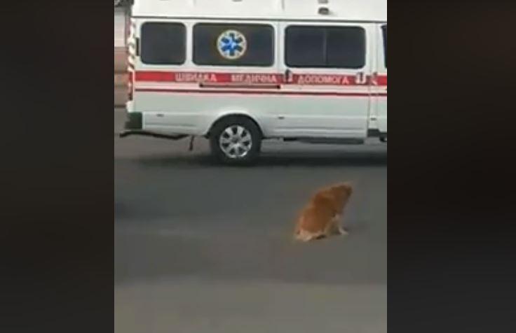 В Запорожье водитель маршрутки сбил собаку и оставил ее умирать (Видео)
