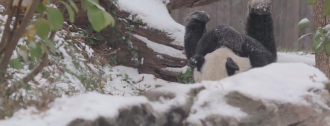 В зоопарке Вашингтона показали видео, где панда радуется первому снегу