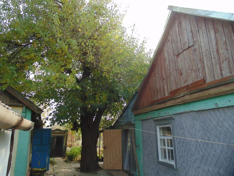 шелковица в сельском дворе