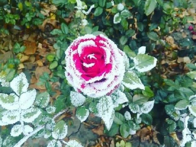 Пришли морозы: на розах по проспекту Соборному появился снег