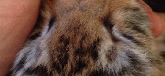 В Васильевском зоопарке выкармливают крошечных тигрят (ВИДЕО)