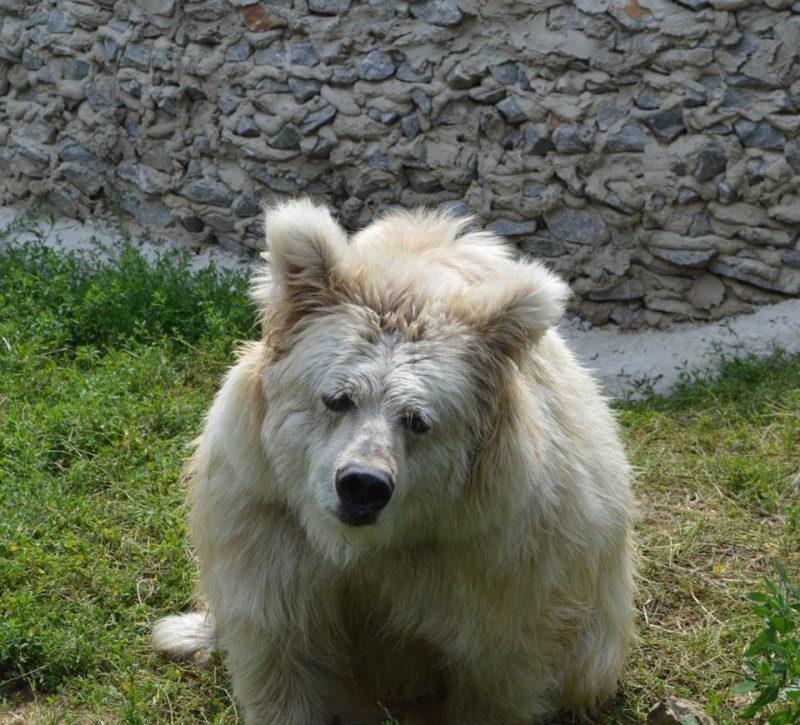 медведица Чада