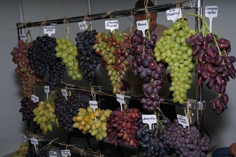 винограда