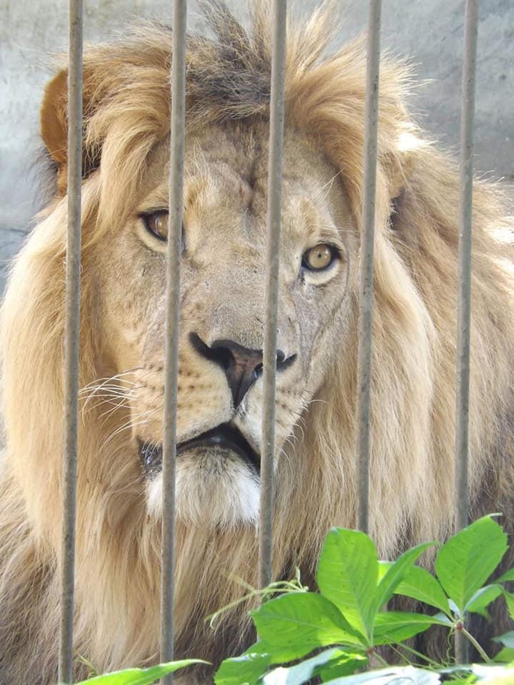 лев Август