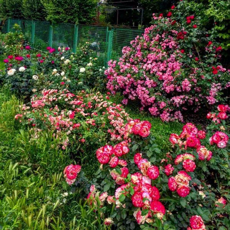 В Запорожье можно полюбоваться цветением разных сортов роз