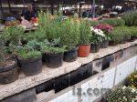Хризантемы и другие растения
