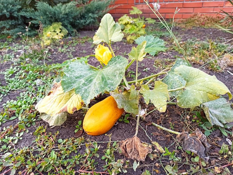 Природная аномалия: в Запорожской области плодоносит клубника и малина (ФОТО)