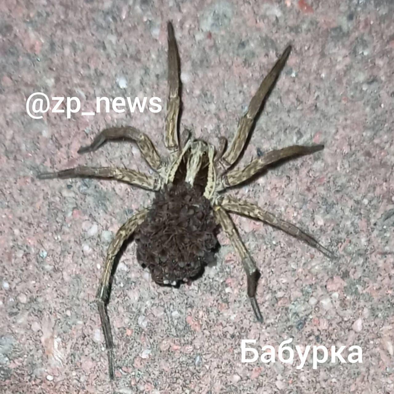 В Запорожье и области активизировались ядовитые пауки (ВИДЕО-ФОТО)