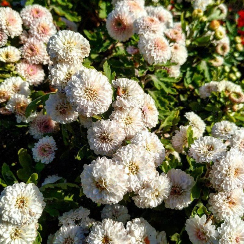 В Запорожском ботсаду цветет королева осеннего сада - фото