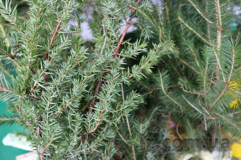 елки и пихты
