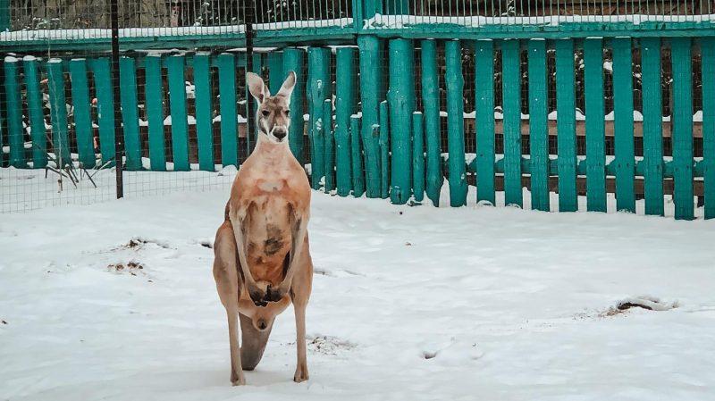 В запорожском зоопарке показали, как кенгуру радуется снегу