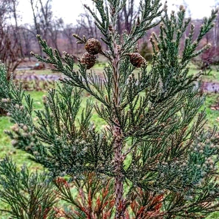 мамонтовое дерево в ботсаду