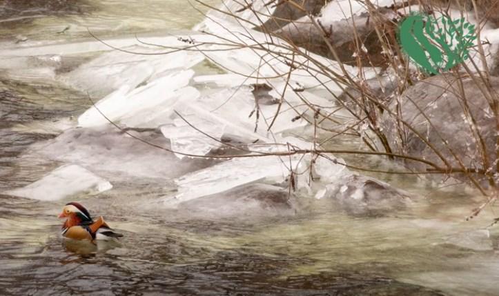 Орланы, бакланы и мандаринки: на Хортице зимую редкие и краснокнижные птицы - видео