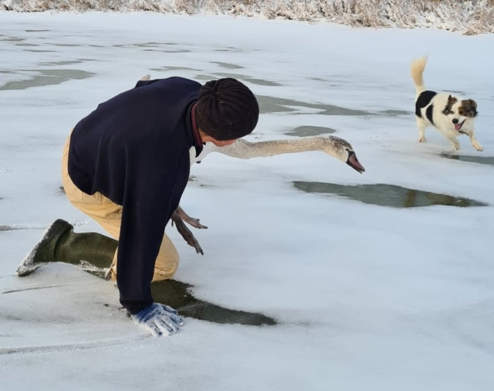 спасли лебедя