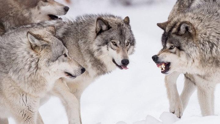 В Запорожской области охотники расправились со стаей волков (ФОТО)