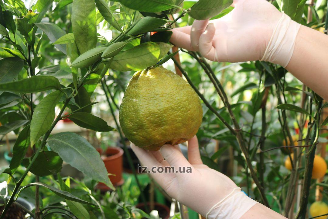 Углифрут