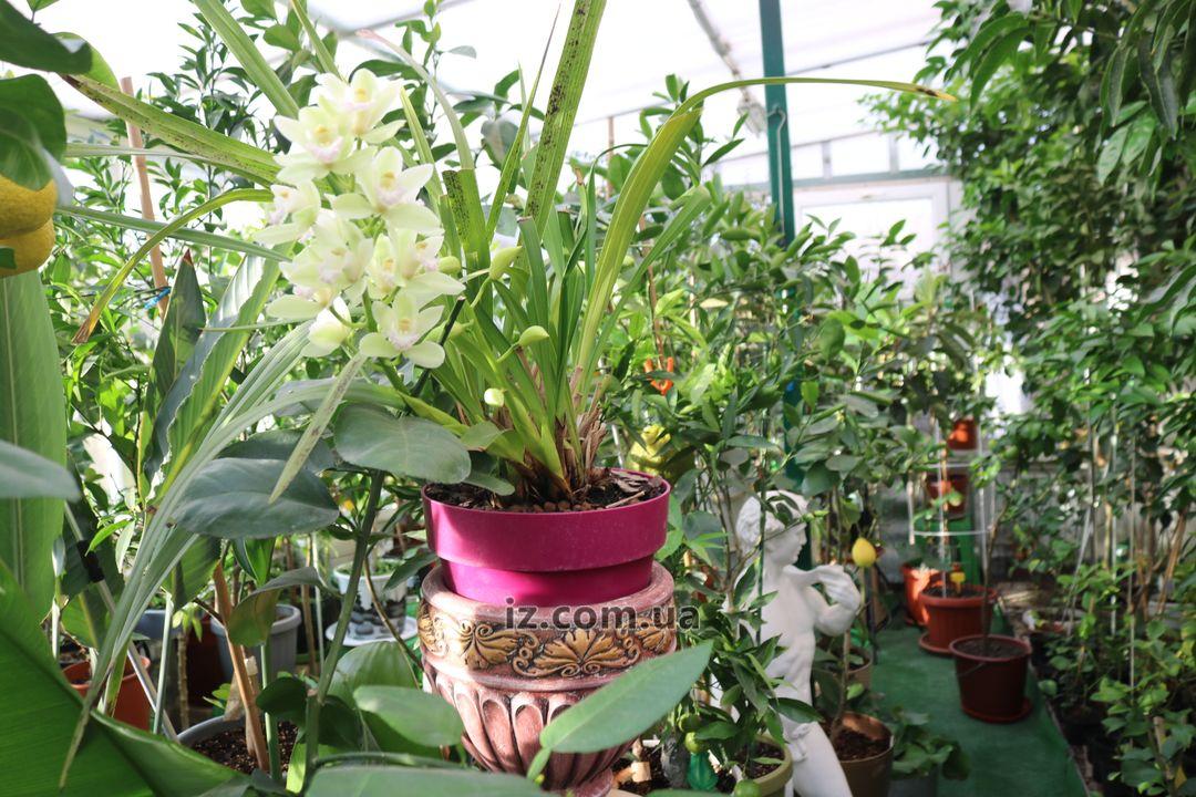 Татьяна Кузьмук выращивает в теплице мандарины, лимоны, помело и манго