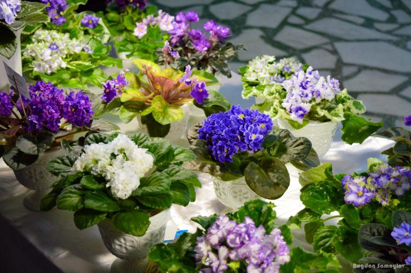 В Запорожье можно полюбоваться цветущими фиалками- фото