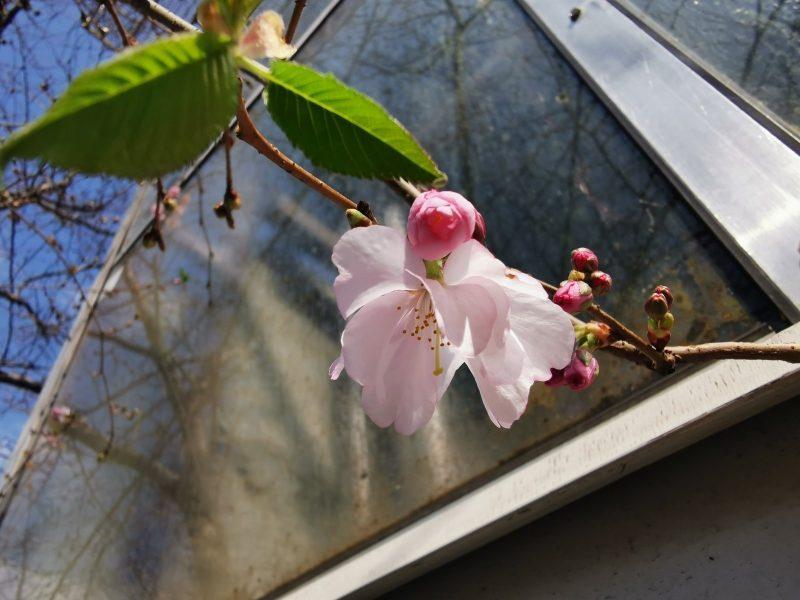 В Запорожье пришла долгожданная весна - в ботсаду зацвела сакура