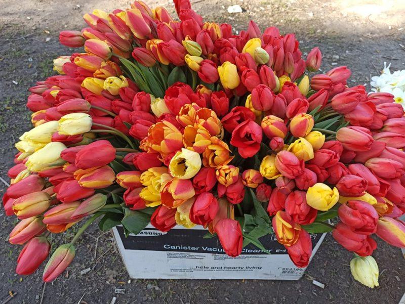 Тысячи тюльпанов привозят из близлежащих сел в Запорожье, чтобы успеть продать