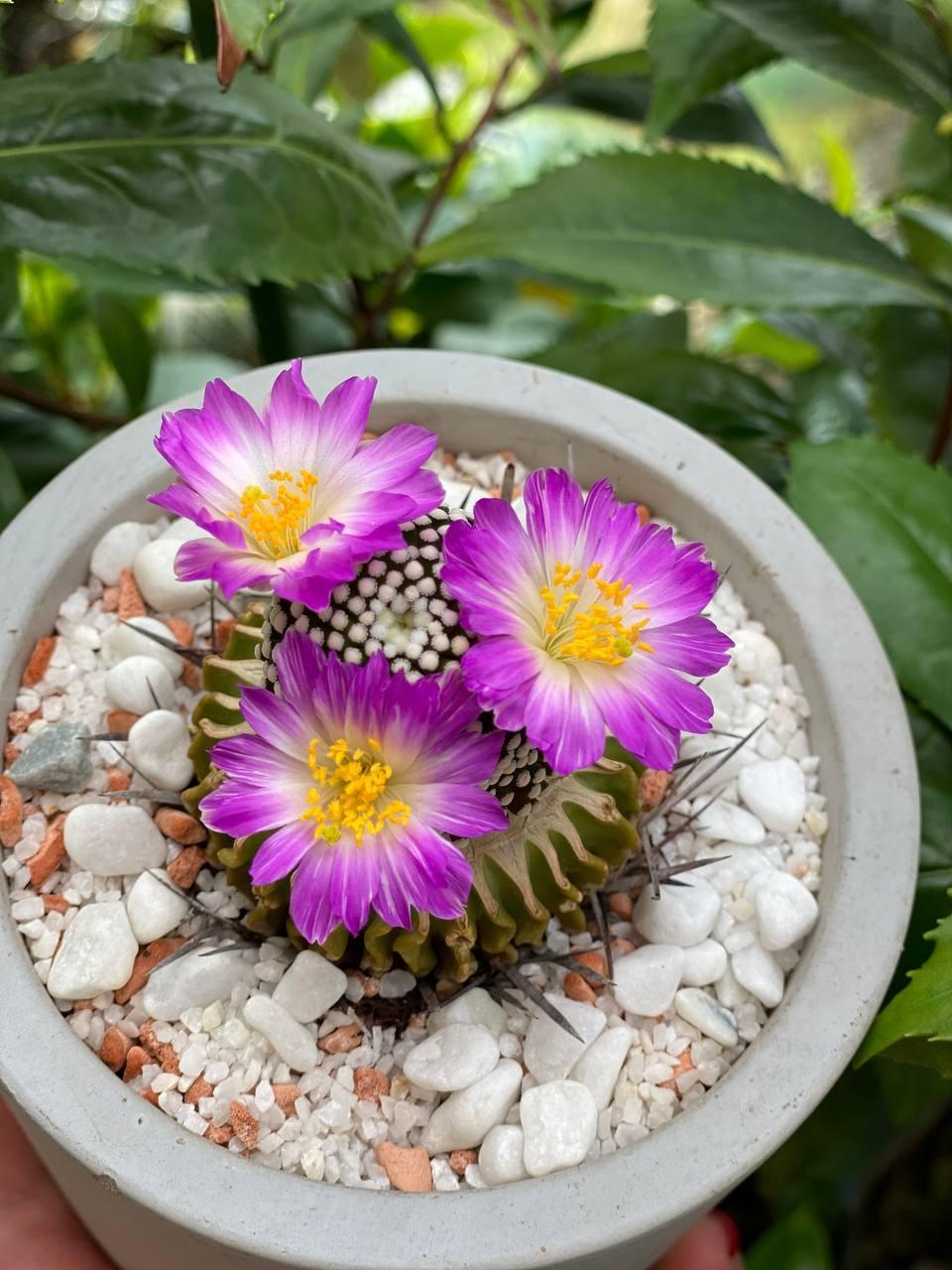 Пока на улице еще нет долгожданного тепла, дома у Татьяны Кузьмук настоящее лето и даже цветут кактусы