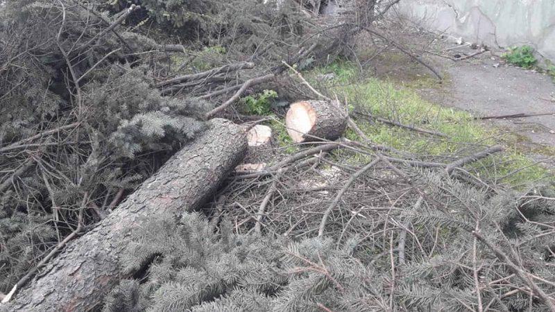 На проспекте Маяковского порубили многолетние ели