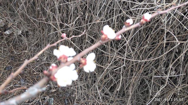 абрикос в Мелитополе