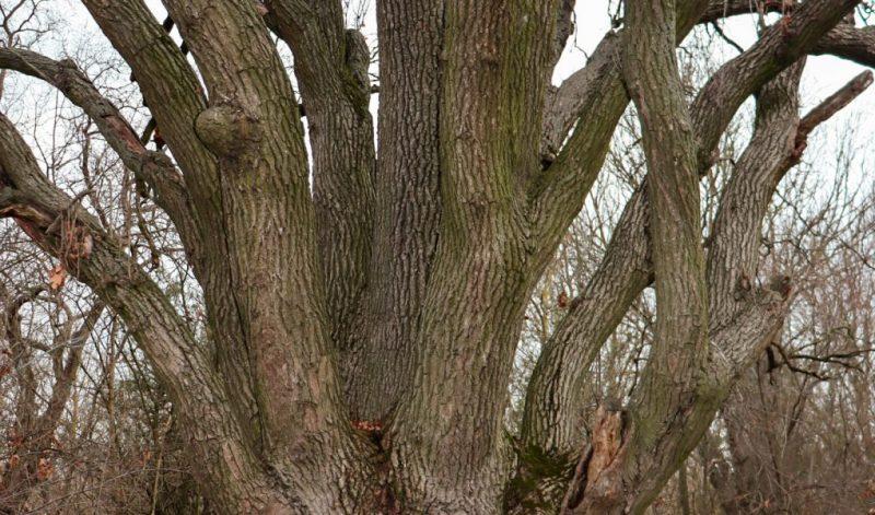В Запорожской области растет уникальный семиствольный дуб - фото