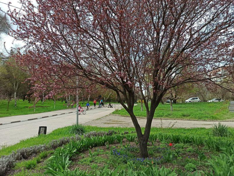 В парке Победы зацвели розовым цветом фруктовые деревья