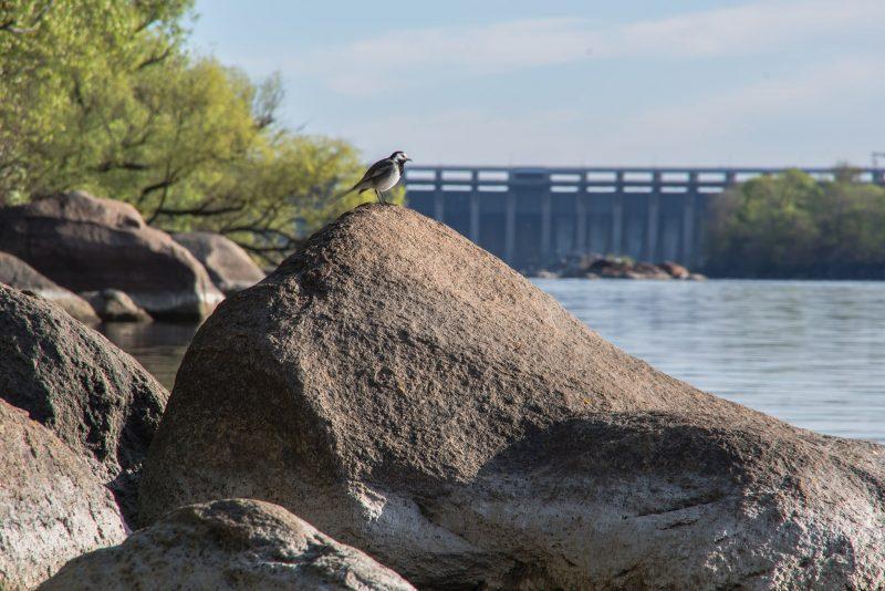 На Хортице запорожский фотограф запечатлел певчую птичку - фото