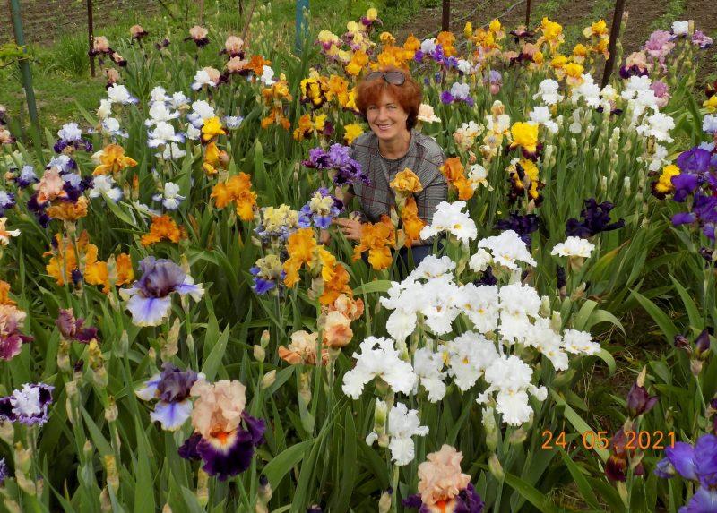 У жительницы Запорожской области цветет ирисовый рай - фото