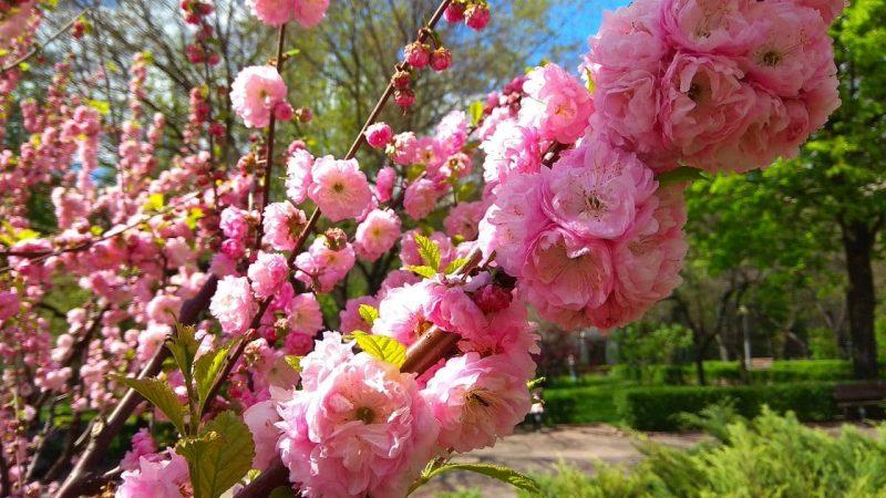 В центре Запорожья можно полюбоваться нежными цветами сакуры - фото