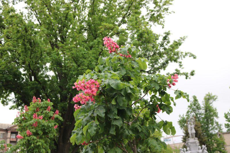 В запорожском парке цветут каштаны необычного розового цвета - фото