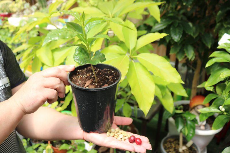 Жительница Запорожья готовится собирать урожай с кофейного дерева - фото