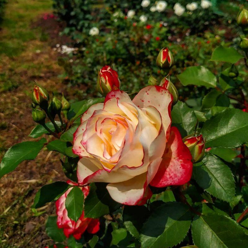 Чарующая красота: в запорожском ботсаду начали цвести розы