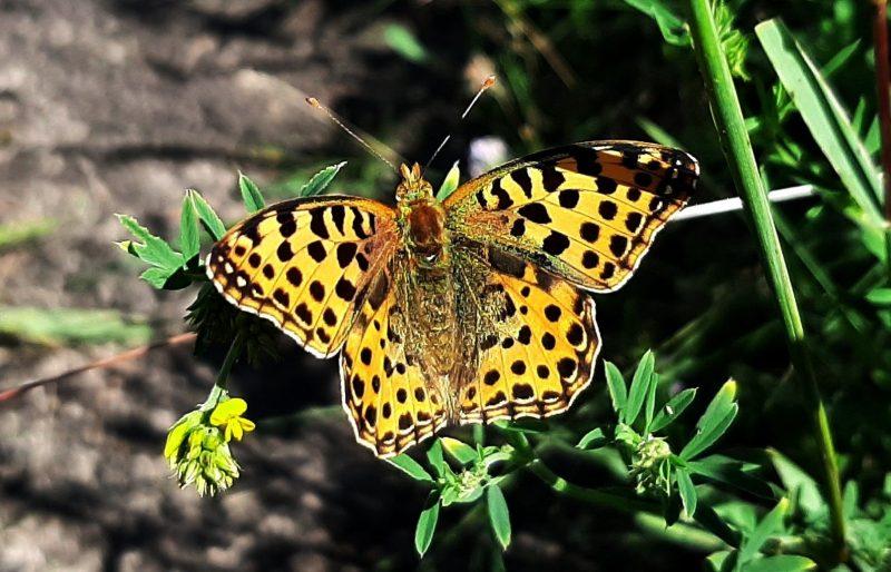 Какие бабочки обитают на Хортице - фото