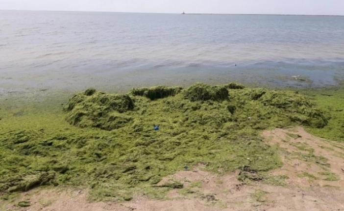 Курьёз: в Бердянске коммунальщики водоросли с пляжа бросают обратно в море (ВИДЕО)