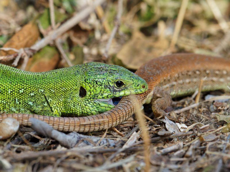 В Запорожской области показали эпизод из жизни ящериц