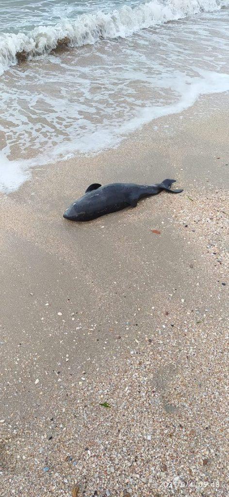 мертвый дельфин на пляже Лиски в Бердянске