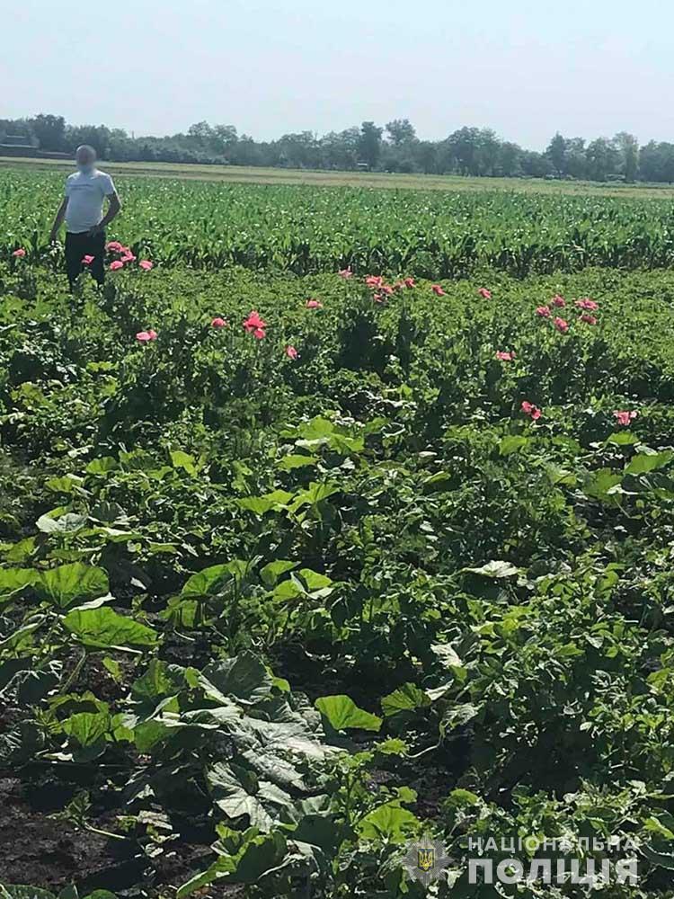 На плантациях запорожцев полицейские собралиболее 400 растенийснотворного мака
