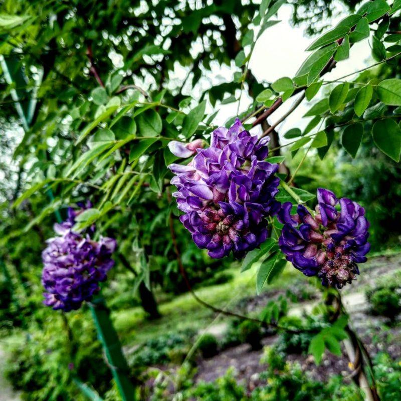 В Запорожском городском детском ботаническом саду цветут пионы, ромашки и другие растения