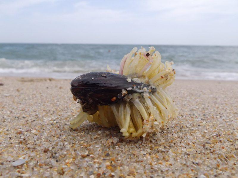 В Запорожской области на Азовском побережье морской хищник уничтожает мидию