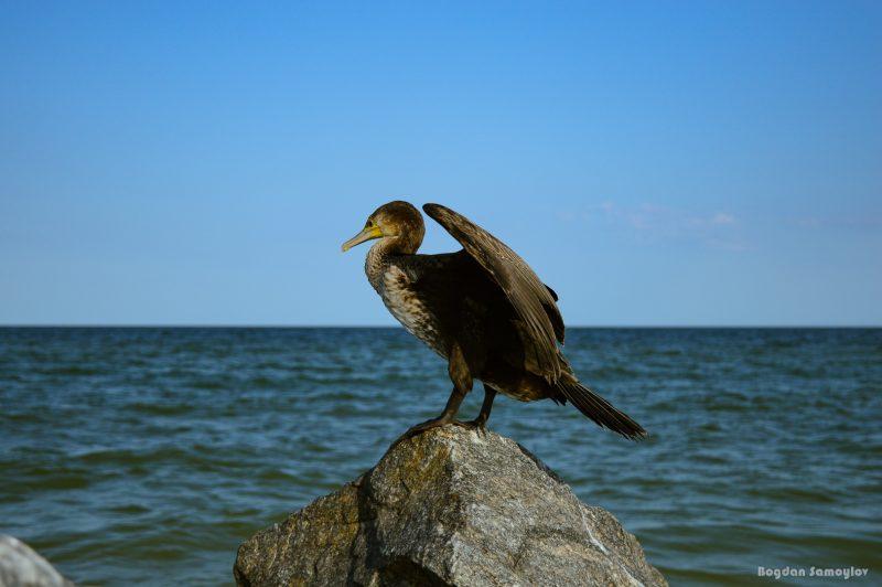 Запорожский фотограф запечатлел птицу, с помощью которой в Китае ловили рыбу - фото