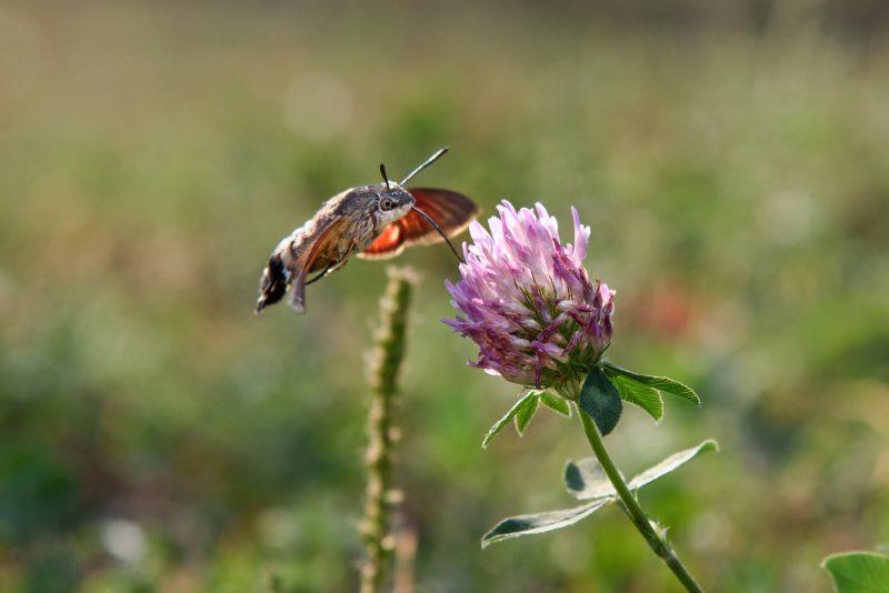 бабочка-колибри
