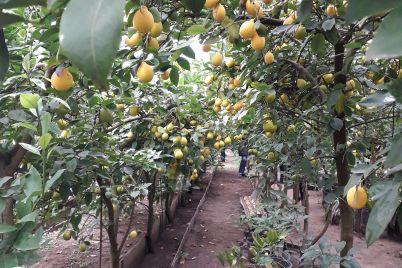 chudesa-ryadom-v-zaporozhe-sobirayut-urozhaj-aromatnyh-limonov-foto.jpg