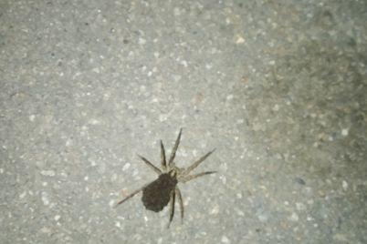 ezhevika-s-nozhkami-samka-tarantula-s-polusotnej-detenyshej-napugala-zhitelej-baburki-foto-1.jpg