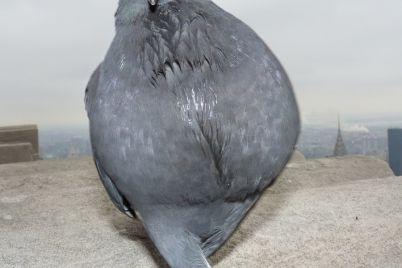 golubi-gurmany-zaporozhskie-pticzy-udivili-gorozhan-svoimi-vkusami-foto.jpg